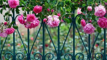 Tropicana AC Coming Up Roses