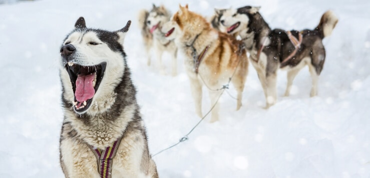 wolf pack leader