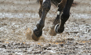 muddy race horse legs